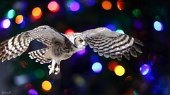 Owl - 6103 (ΨᗩSᗰIᘉᗴ HᗴᘉS +44 000 000 thx) Tags: hss sliderssunday bird owl bokeh photoshop hensyasmine namur belgium europa aaa namuroise look photo friends be wow yasminehens interest intersting eu fr greatphotographers lanamuroise pairidaiza nature