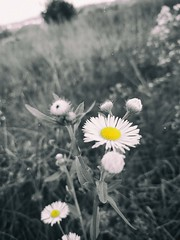 Chamomile (Lost himself.) Tags: chamomile flower nature grass meadow macro sad gray