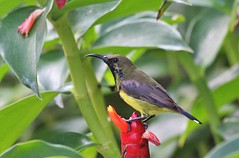 Olive-backed Sunbird (falcon1801) Tags: sunbird bird thailand