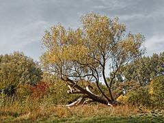 Le repos du vieux saule (Jean-Marie Lison) Tags: eos80d sigmaart bruxelles molenbeek scheutbos parc pelouse arbre saule
