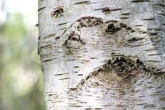 Knotty (Wouter de Bruijn) Tags: fujifilm xt2 fujinonxf56mmf12r silverbirch birch tree knot bark silver grey white macro nature bokehdepthoffield outdoor westhove mantelingen oostkapelle veere walcheren zeeland nederland netherlands holland dutch