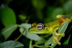 Treefrog (Boana albomarginata) (Alessandher Piva) Tags: boana albomarginata treefrog perereca amphibian anura anuro sapo herpetologia alessandher piva biólogo fotográfo santa catarina blumenau mata atlântica