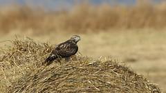 Hanging Out (Bill G Moore) Tags: redtailhawk birdofprey naturephotography raptor wild wildlife fall brown hay canon colorado