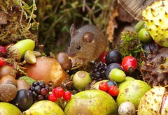 wild house mouse with wild picked fruits nuts and berries Autumn display (8) (Simon Dell Photography) Tags: mouse nature wildife wild free garden mice animal rodent cute funny seasonal autumn fall season winter colors pumpkin conkers horse chestnut fruits berries bounty log pile george house halloween fright night 13th friday fun simon dell photography sheffield s12 hackenthorpe
