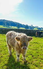 SF9 (tubblesnap) Tags: highland cattle cow cows coos calf calves hellifield beef cute farm birthday treat lightroom panasonic lumix furry cuddly yorkshire dales ginger