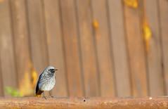 Rust everywhere :) (Zoltan Krizbai) Tags: rust bird rustytailed flycatcher