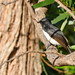 Willie  the Wag Tail (TonyinAus) Tags: birdf bird australia
