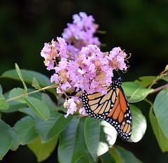 MonarchButterfly. (T's PL) Tags: alongroanokerivergreenway butterfly d7200 monarchbutterfly nikon nikond7200 nikondslr pinkflowers roanoke roanokeroanoke va roanokeva tamron18400 nikontamron tamron18400mmf3563diiivchld tamron18400mmf3563diiivchldmodelb028tamron virginia