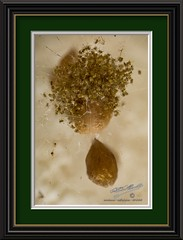 Hatchlings (LensLord) Tags: spideregg sac mancilla foster arachnid jack