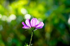 _DSC9916 (Raphistole) Tags: fleurs flower 50mm f14 bokeh nikon d7000 nikkor macro colors couleurs
