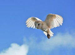 Barn owl. (carolinejohnston2) Tags: nature wildlife flying flight wings feathers birdofprey ireland