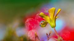 Flower - 5960 (ΨᗩSᗰIᘉᗴ HᗴᘉS +27 000 000 thx) Tags: flower bokeh macro laowa drop droplet hensyasmine namur belgium europa aaa namuroise look photo friends be wow yasminehens interest intersting eu fr greatphotographers lanamuroise color