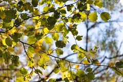 Autum Hazel (oandrews) Tags: autumn canon canon70d canonuk colours hazel leaves nature naturereserve northamptonshire outdoors shortandsouthwickwoods shortwoodandsouthwickwood sunlight trees wildlifetrusts wildlifebcn wood woodland woods