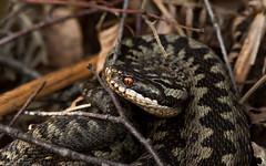 Female Adder (kevinclarke1969) Tags: snake adder reptile