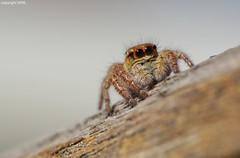 Salticidae from the Rhine valley (Phil Arachno) Tags: germany arachnida chelicerata spider spinne arthropoda hirzenach rheinlandpfalz salticidae carrhotus