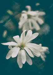 Melancholy Magnolia (Katrina Wright) Tags: dsc7010editr white cream magnolia flowers petals raindrops rain processing sliderssunday hss macro