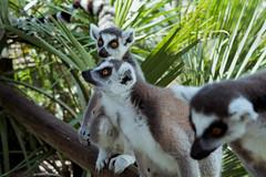 [T] SNY02511 (KoffeeShark) Tags: deer zebra cat bus peacock llama baby foal sony a6300 wildlife safari tour zoo lemur cow banteng sika