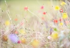 DECAY (in a lightful-feminine, italian-designed summer dress. exactly like that. hoho.) (dapalmerpeter (slow & low)) Tags: dapalmerpeter canon 50 50mm 095 dreamlens bokeh dof wideopen poppy decay blur summerdress italy garden