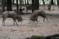 Cerfs élaphes (Passion Animaux & Photos) Tags: cerf elaphe red deer cervus elaphus parc animalier saintecroix france