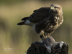 Common Buzzard (Ian howells wildlife photography) Tags: ianhowells ianhowellswildlifephotography nature naturephotography canon canonuk wildlife wildlifephotography wales wild wildbirds wildbird birdofprey buzzard