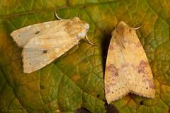 Sallow (Xanthia icteritia & Ab. flavescens). (od0man) Tags: sallow xanthiaicteritia abflavescens noctuidae noctuid acronictinae lepidoptera insect moth macro macrolife canonef100mmf28lisusmmacro skinnertrap liden swindon wiltshire uk