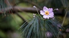*** (pszcz9) Tags: przyroda nature natura naturaleza kwiat flower zbliżenie closeup sosna pine bokeh beautifulearth sony a77