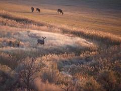 How Many Deer? (The Good Brat) Tags: colorado us deer muledeer howmanydeer odocoileushemionus mammal morning sunrise