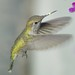 LA Zoo, local wild, Southern California Hummingbird DSC_0371