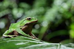 2J4A8100 (ajstone2548) Tags: 12月 樹蛙科 兩棲類 翡翠樹蛙