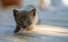kittens II (14) (Vlado Ferenčić) Tags: kitty kittens kittysuperstar catsdogs cats animals vladoferencic pets vladimirferencic zagorje hrvatskozagorje animalplanet hrvatska croatia nikond600 tamron9028 closeup