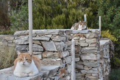 fullsizeoutput_90c1 (lnewman333) Tags: sifnos siphnos greece europe cyclades aegeansea faros island beach apokoftobeach cat tabby straycat feline