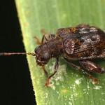 Flea beetle, Hypolampsis sp.? Chrysomelidae: Alticini: Monoplatina thumbnail