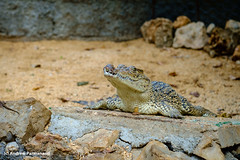 Crocodile (Andrew Parmanand) Tags: cuba zoo animal animals crocodile