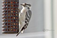 Male Downy Woodpecker (Picoides pubescens) (Jeannot7) Tags: male downywoodpecker picoidespubescens woodpecker bird feeder backyard birdwatcher cobourg ontario