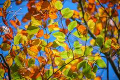 Autumn Series - 7 (Dhina A) Tags: sony a7rii ilce7rm2 a7r2 a7r tamron sp 500mm f8 tamronsp500mmf8 prime ad2 adaptall2 mirrorlens 55bb catadioptric reflex cf tele macro manualfocus