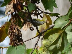 Chestnut Sided Warbler at Fuschia Dell (Joachim Gonzalez) Tags: cswa chestnutsidedwarbler rarebird setophagapensylvanica