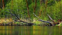 1, 2, Tree (Bob's Digital Eye) Tags: bobsdigitaleye canon canonefs55250mmf456isstm deadwood decomposing flicker flickr lake lakescape lakeshore landscape may2018 selectfocus t3i tiltshifteffect trees water wood woodsforests