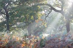 Autumn in Richmond Park (Sophie Carr Photography) Tags: foggy fog sunrise sunbeams rays crepuscularrays trees woodland autumncolours autumnleaves autumnmorning richmondpark london beautifullight
