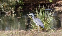 9Q6A5565 (2) (Alinbidford) Tags: alancurtis brandonmarsh greyheron nature wildbirds wildlife