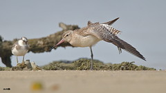 Bar-tailed Godwit (with Lesser Sand Plover) (harshithjv) Tags: bird birding wader shorebird godwit bartailed bartailedgodwit limosa lapponica charadriiformes scolopacidae aves avian canon 80d tamron bigron g2