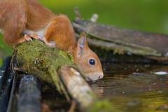 IL ROSSO ALL'ABBEVERATA (ric.artur) Tags: scoiattolo rosso animali nikon naturalmente natura piemonte