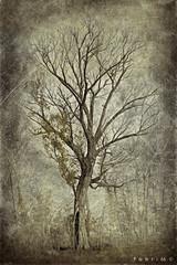 "Alberi_02-sviluppo-01 (Fabri G. ""fabri66"") Tags: fgfabri66images darktable gimp gmic photomanipulation trees nature albero textureblendphotography textureblend"