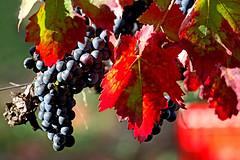 l' autunno disegnato da un bambino (♥iana♥) Tags: vino uva grape vendemmia autunno autumn fall rosso red vite vigna grapevine montemarano avellino campania italia