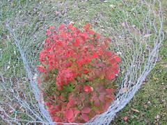 Burning bush (creed_400) Tags: belmont west michigan autumn fall burning bush red leaves