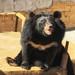 Asian black bear or moon bear