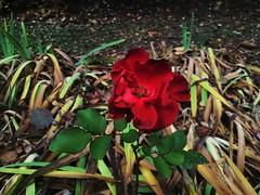 Jesienne róże (basiamarcisz) Tags: nature przyroda kwiat flower redrose rose czerwoneróże róże
