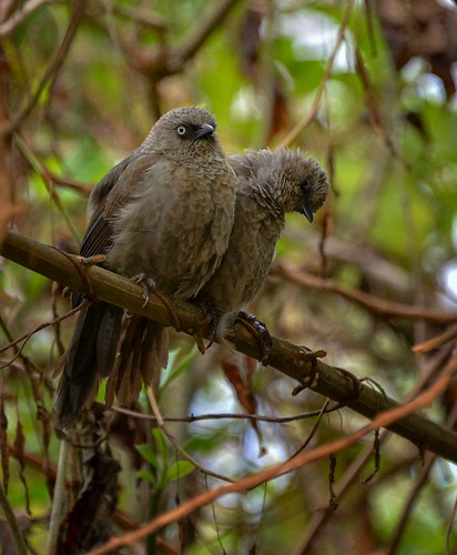 Black-lored Babblers