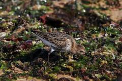 becasseau variable 19 (dmes55) Tags: dune oiseau bretagne bécasseau
