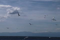 mouettes (marcel.photo) Tags: möwe mouette vogel bird vevey schweiz switzerland genfers lac lémon