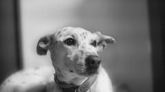 Neve (rischefantorus) Tags: dog cane vintagelens revuenon f14 widebw littledoglaughednoiret